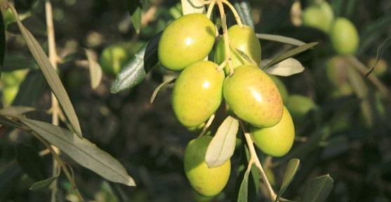 Olives Aglandeau