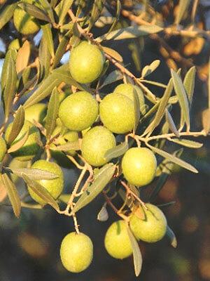 Les olives, variété d'olives