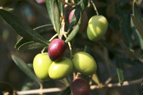 Les produits, variété d'olives