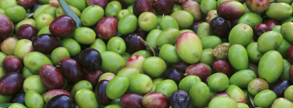variétés d'olives utilisées par La Vernède